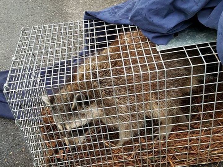 raccoon in a cage